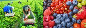 Сезонная работа в ЕС. Сбор ягод от € 1300 фотографии